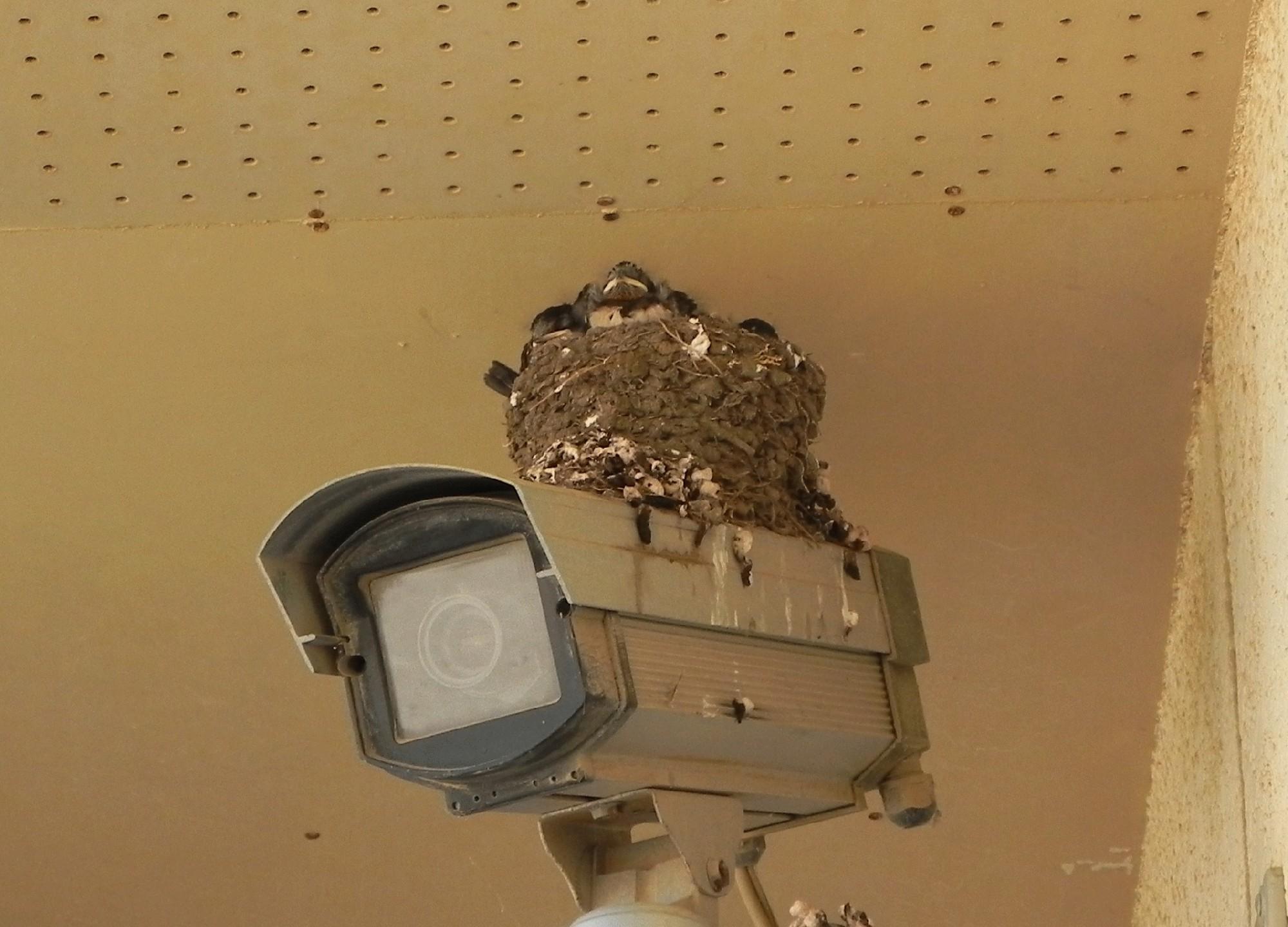 監視カメラの上のツバメの巣